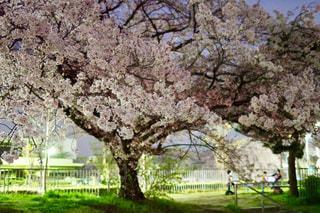 公園の大きな木の写真・画像素材[1169552]