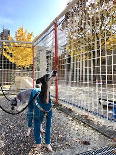 犬,公園,秋,紅葉,京都,雲,青空,秋空