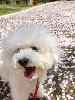 小さな白い犬 - No.984478