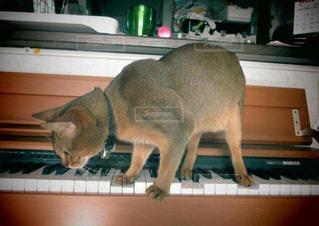 ピアノを弾いている猫の写真・画像素材[1006215]