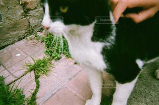 その口を開いて白猫の写真・画像素材[1235775]