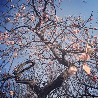 梅の木の写真・画像素材[1794858]