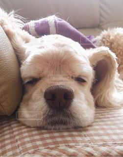 犬,昼寝,寝顔,アメリカンコッカースパニエル