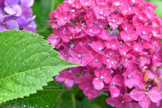 自然,風景,花,雨,屋外,緑,紫陽花,梅雨,天気,しずく,雨の日
