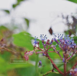 自然,風景,花,雨,屋外,紫陽花,梅雨,天気,しずく,雨の日