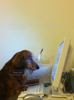 コンピューターの前に座っている犬の写真・画像素材[1530006]