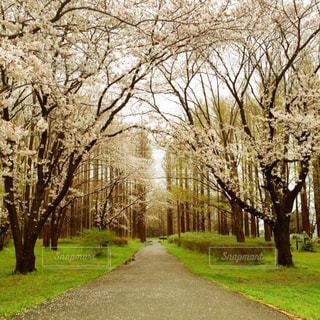 桜のトンネルの写真・画像素材[1872726]