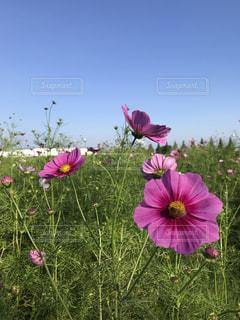 フィールドにピンクの花の写真・画像素材[842435]