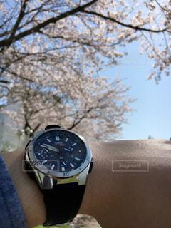 桜,時計,お花見