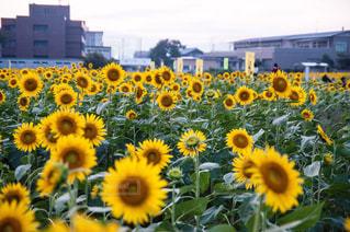 黄色の花の束の写真・画像素材[1198151]