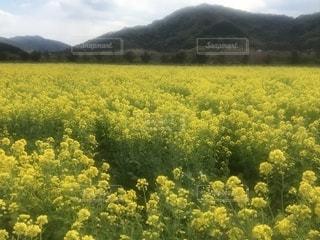 春,黄色,菜の花,田舎,日本,畑
