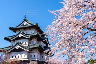 桜の写真・画像素材[531993]