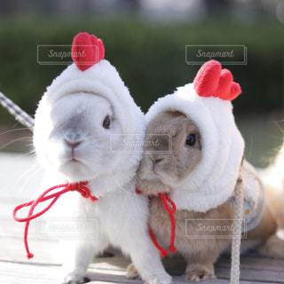 動物,うさぎ,かわいい,ふわふわ,ペット,兎,癒し,にわとり,うさんぽ,Cute,ふわもこ,ツーショット,酉年
