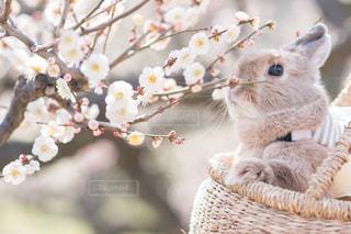 ぬいぐ梅の花と愛兎の写真・画像素材[3045956]