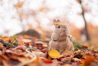 秋を感じる愛兎の写真・画像素材[3764658]