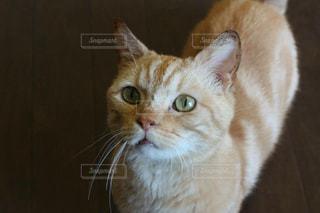 カメラを見ている猫の写真・画像素材[1254892]