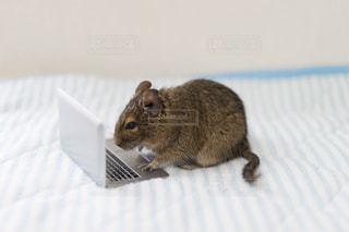 ベッドの上に座っている齧歯動物の写真・画像素材[1529302]