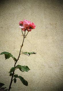 一本だけで咲いていたピンクの薔薇の写真・画像素材[721616]