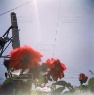 晴れの日の真紅の薔薇の写真・画像素材[721642]