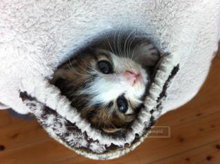 ポケットの中の子猫の写真・画像素材[724785]