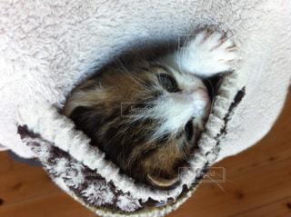 ポケットの中の子猫の写真・画像素材[724800]