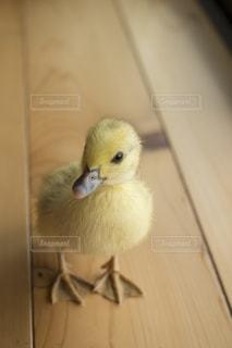 カメラ目線の鴨のヒナの写真・画像素材[726978]