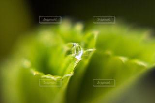 苺の葉にガラス玉みたいな雨の滴がの写真・画像素材[2109844]