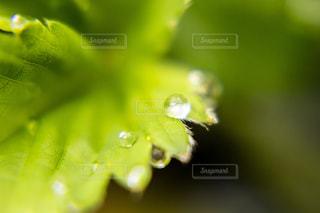 苺の葉にガラス玉みたいな雨の滴がの写真・画像素材[2109850]