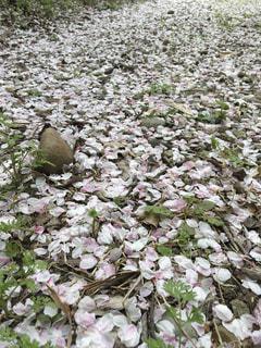 桜,絨毯,愛知県,犬山城,花絶景