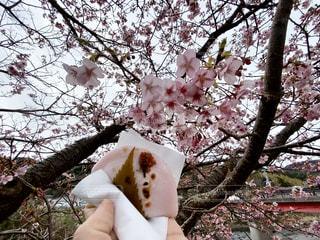 桜餅見ながら桜餅の写真・画像素材[3017702]
