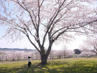 満開の桜咲く公園で遊ぶ女の子の写真・画像素材[3082086]