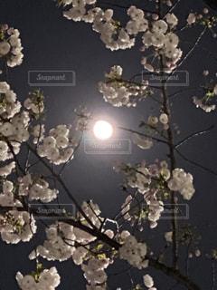 桜の中のピンクムーン。の写真・画像素材[3086096]