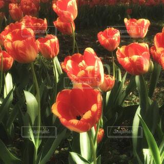 春の陽射しに喜ぶチューリップの写真・画像素材[4292930]