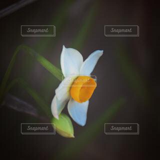ひっそりと咲いていた一輪の水仙の写真・画像素材[4311857]