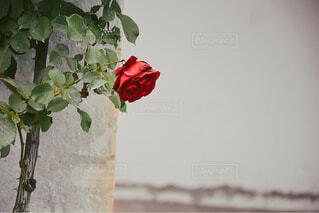 一輪の赤い薔薇の写真・画像素材[4319899]