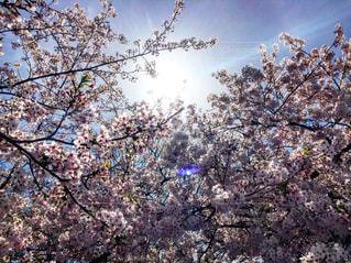 春,桜,大阪,晴れ,景色,卒業式