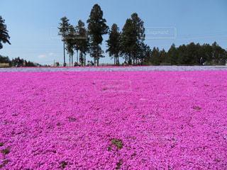 春,観光,お花見,芝桜,秩父,羊山公園