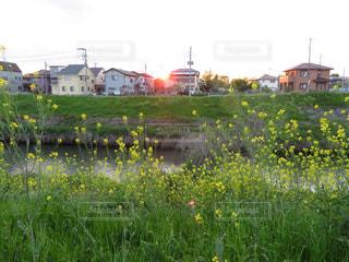 春,菜の花,街,土手,町,鴨川,埼玉県,さいたま市