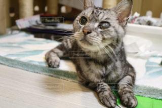 テーブルの上に横たわる猫の写真・画像素材[732452]