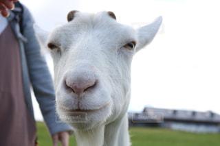 牛はカメラを見て白い動物の前に立っての写真・画像素材[757678]