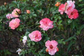 植物にピンクの花の写真・画像素材[783914]