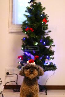 犬,クリスマス,サンタ,トイプードル,クリスマスツリー,クリスマスの思い出