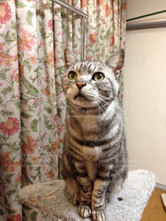 カーテンの前に座っている猫の写真・画像素材[992658]