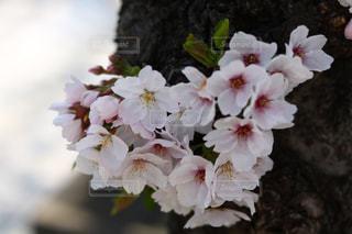 桜,観光,ハート,お花見,鎌倉