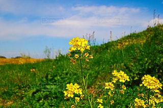 フィールド内の黄色の花 - No.1116455