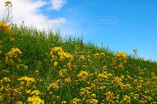 フィールド内の黄色の花 - No.1116770