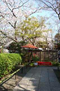 桜,観光,お花見,牡丹,鎌倉,お散歩,鶴岡八幡宮,花絶景