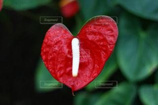 花,赤,観光,ハート,旅行,温室,観葉植物,伊豆,情熱,伊東,バナナワニ園
