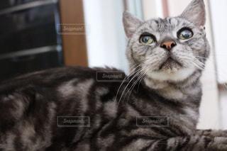 カメラを見ている猫の写真・画像素材[1166157]