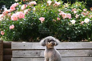 庭のベンチに座っている犬の写真・画像素材[1177434]